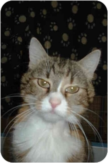 Domestic Mediumhair Cat for adoption in Mission, British Columbia - Maddie
