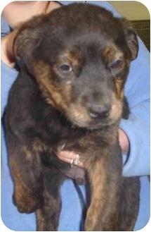 Shepherd (Unknown Type)/Labrador Retriever Mix Puppy for adoption in Old Bridge, New Jersey - CoCo