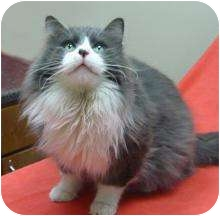 Domestic Longhair Cat for adoption in Chicago, Illinois - Steve
