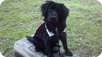 Setter (Unknown Type)/Spaniel (Unknown Type) Mix Dog for adoption in Clarksville, Tennessee - Ringo