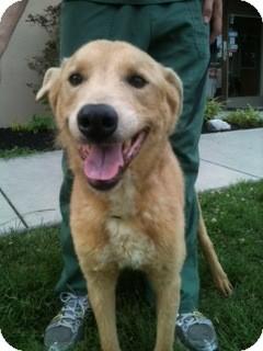 Golden Retriever Mix Dog for adoption in Roanoke, Virginia - Will
