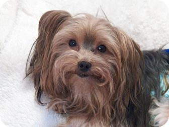 Yorkie, Yorkshire Terrier Dog for adoption in Mary Esther, Florida - Dustin