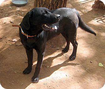 Newfoundland/Labrador Retriever Mix Dog for adoption in Jemez Springs, New Mexico - Rocky