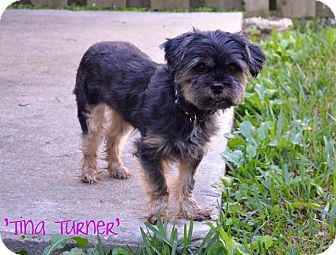 Yorkie, Yorkshire Terrier/Brussels Griffon Mix Dog for adoption in Metairie, Louisiana - Tina Turner
