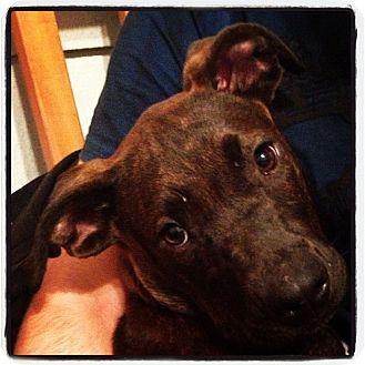 Labrador Retriever Mix Puppy for adoption in Newtown, Connecticut - Zeus