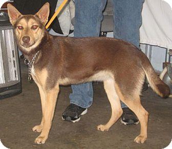 Husky Mix Dog for adoption in Newberry, South Carolina - Cocoa
