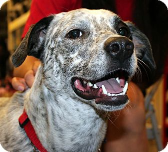 Australian Cattle Dog/Australian Cattle Dog Mix Puppy for adoption in Irving, Texas - SPOT