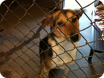 Border Collie Mix Dog for adoption in Yuba City, California - 05/10 Peppi