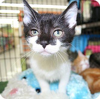 Domestic Shorthair Kitten for adoption in Asheville, North Carolina - Jamie