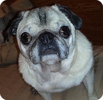 Pug Dog for adoption in Hinckley, Minnesota - Mia
