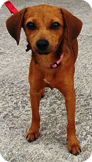 Dachshund Mix Dog for adoption in Hagerstown, Maryland - Heidi