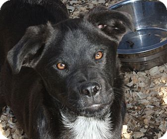 Labrador Retriever Mix Puppy for adoption in kennebunkport, Maine - Henley - PENDING, in Maine
