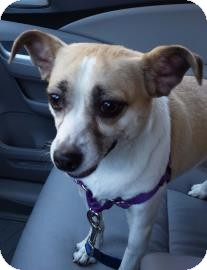 Chihuahua/Terrier (Unknown Type, Small) Mix Dog for adoption in Gloucester, Massachusetts - Sage