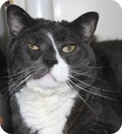 Domestic Shorthair Cat for adoption in Brooklyn, New York - Persephone