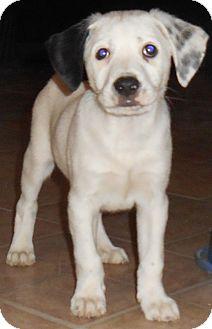 Dalmatian/Terrier (Unknown Type, Medium) Mix Puppy for adoption in Richmond, Virginia - Spud