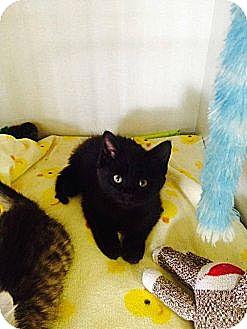 Domestic Shorthair Kitten for adoption in Pincher Creek, Alberta - Kiwi