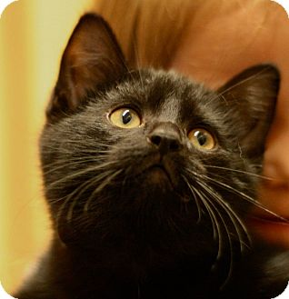 Domestic Shorthair Cat for adoption in Weatherford, Texas - Bobby