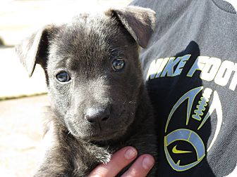 Labrador Retriever/German Shepherd Dog Mix Puppy for adoption in Memphis, Tennessee - JULIET