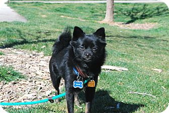 Pomeranian/Chihuahua Mix Dog for adoption in Twin Falls, Idaho - Rustin