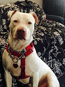 Dogo Argentino/Pointer Mix Dog for adoption in Beverly Hills, California - Jagger