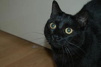 Domestic Shorthair Cat for adoption in San Jose, California - Susie