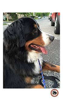 Bernese Mountain Dog Dog for adoption in Grafton, New Hampshire - Woodley