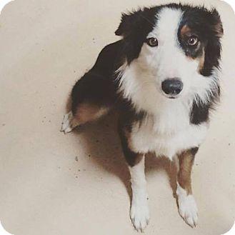 Border Collie Dog for adoption in Allen, Texas - Zeva