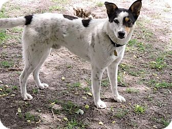 Australian Cattle Dog Mix Dog for adoption in East Hartford, Connecticut - Stich-pending adoption