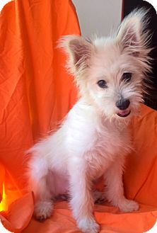 Westie, West Highland White Terrier Mix Puppy for adoption in Pasadena, California - SANDY