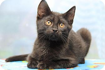 Domestic Shorthair Kitten for adoption in Sterling Heights, Michigan - Auguste
