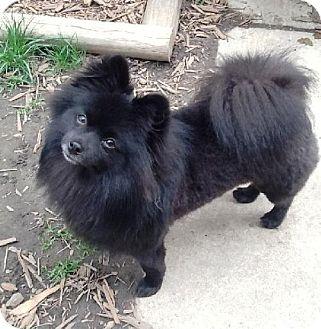 Pomeranian Dog for adoption in Buffalo, New York - Charlie