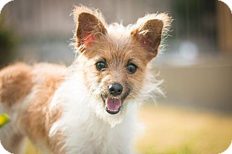 Terrier (Unknown Type, Small) Mix Dog for adoption in Los Angeles, California - Grivet
