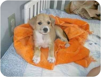 Jack Russell Terrier/Terrier (Unknown Type, Small) Mix Puppy for adoption in Cairo, Georgia - Cupcake
