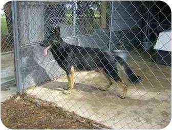 German Shepherd Dog Mix Dog for adoption in Cairo, Georgia - Tyson