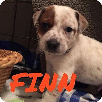 Basset Hound/Beagle Mix Puppy for adoption in Rexford, New York - Finn