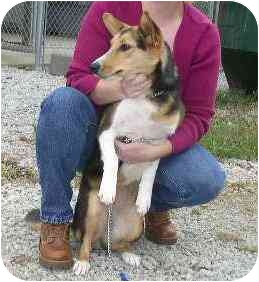Sheltie, Shetland Sheepdog/Jack Russell Terrier Mix Dog for adoption in Baldwin, New York - ISLA