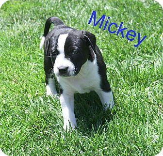 Labrador Retriever Mix Puppy for adoption in Concord, California - Mickey