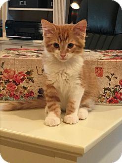 Domestic Shorthair Kitten for adoption in Scottsdale, Arizona - Jagger