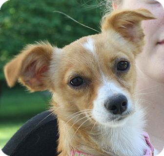 Dachshund/Chihuahua Mix Dog for adoption in New Jersey, New Jersey - Bordentown NJ - Ginger