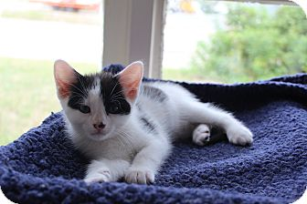 Domestic Shorthair Cat for adoption in Elliot Lake, Ontario - Beemer