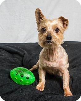 Yorkie, Yorkshire Terrier Dog for adoption in Seminole, Florida - Bridgette