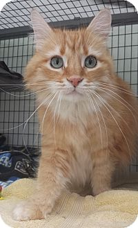 Domestic Longhair Cat for adoption in Diamond Springs, California - George Cassey