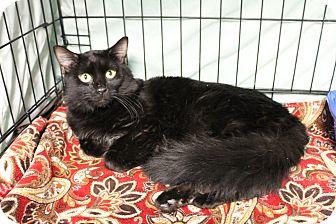 Domestic Mediumhair Cat for adoption in Warwick, Rhode Island - Duncan