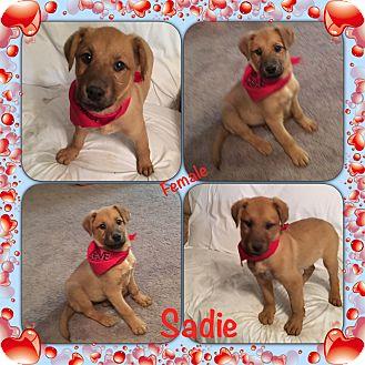 Labrador Retriever/Catahoula Leopard Dog Mix Puppy for adoption in East Hartford, Connecticut - Sadie pending adoption