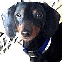 Adopt A Pet :: Tazzy Torus - Houston, TX