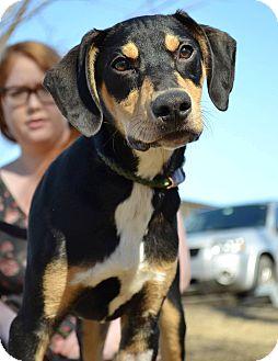 Hound (Unknown Type)/Catahoula Leopard Dog Mix Dog for adoption in Stillwater, Oklahoma - Cletus