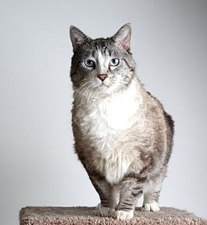 Siamese/Domestic Shorthair Mix Cat for adoption in Reno, Nevada - Edward
