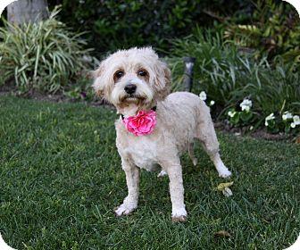 Havanese/Poodle (Miniature) Mix Dog for adoption in Newport Beach, California - LESA