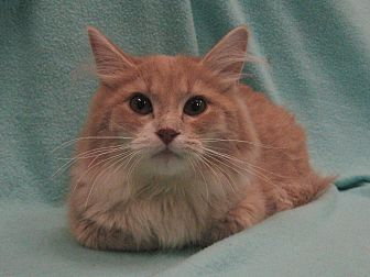 Domestic Shorthair Cat for adoption in Redwood Falls, Minnesota - Xeno