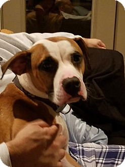 Boxer Mix Dog for adoption in Plant City, Florida - Holtby